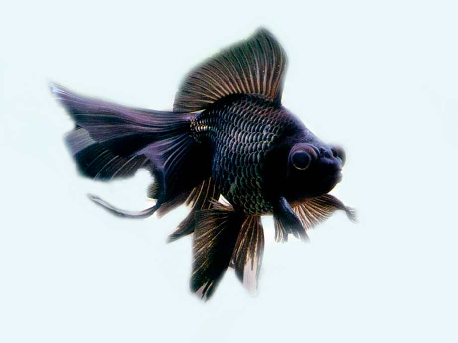 Телескоп – аквариумная рыбка   692x922