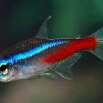 аквариумная рыбка неон обыкновенный
