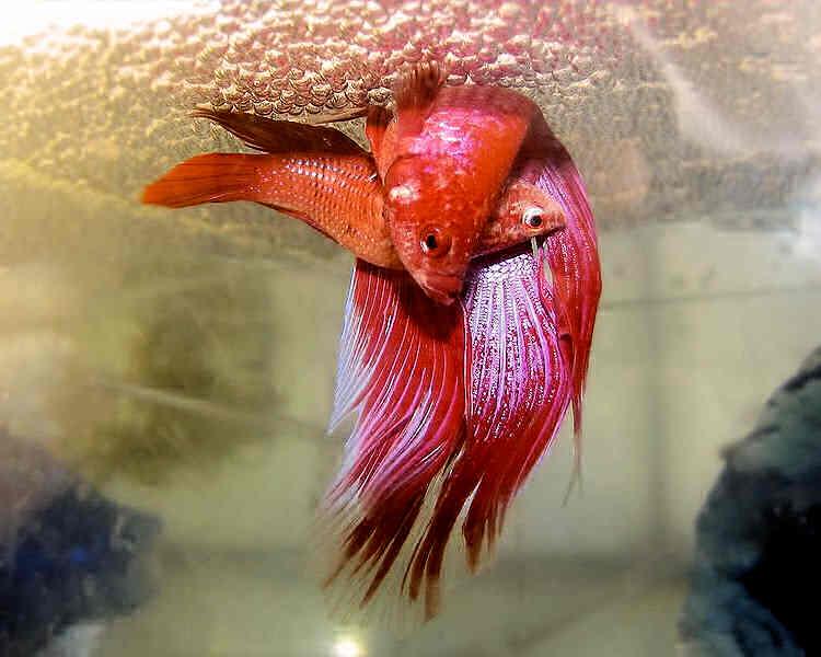размножение аквариумных рыбок петушков