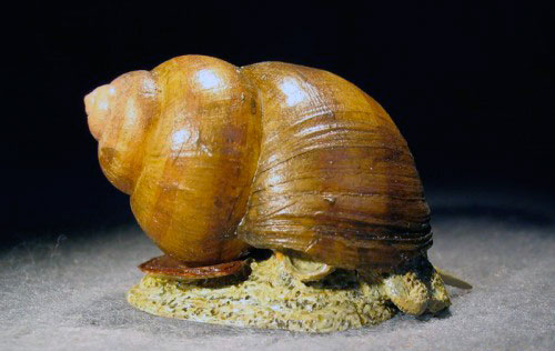 Viviparus живородка речная