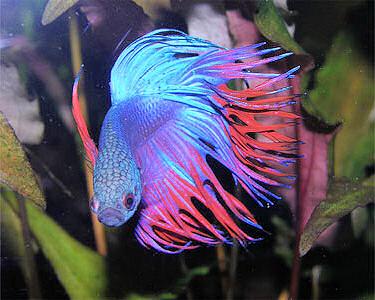 болезни аквариумных рыбок петушков