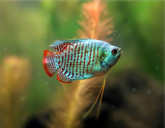 содержание аквариумной рыбки лялиус