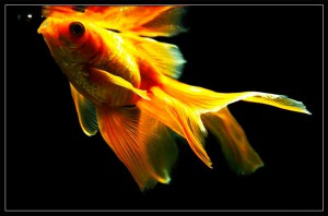 Carassius auratus золотая рыбка