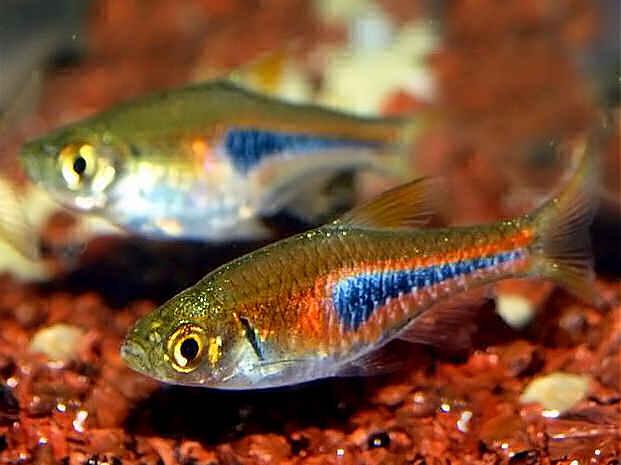 содержание аквариумных рыбок расбор