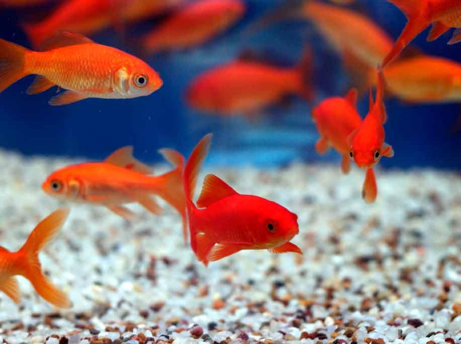 аквариумные золотые рыбки в аквариуме