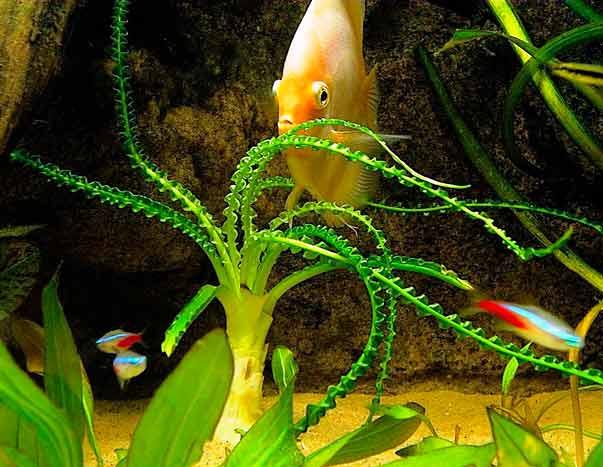 аквариумное растение кринум волнистый, Crinum-calamistratum