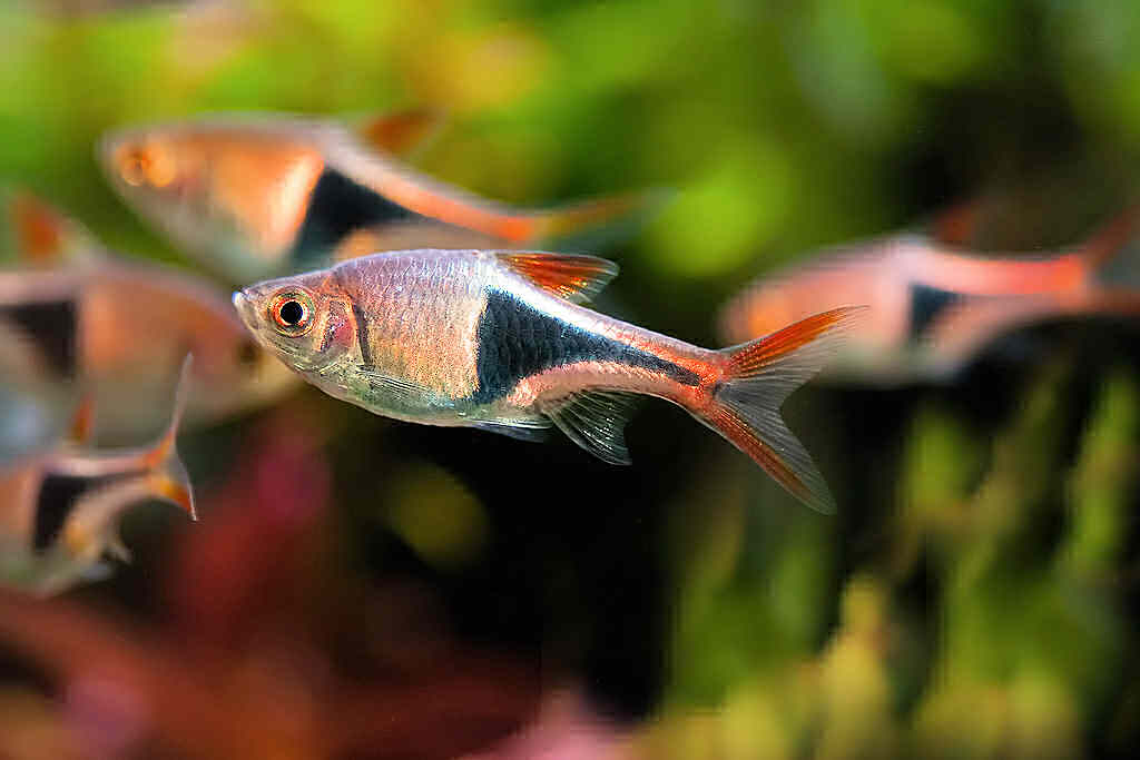 рыбка расбора