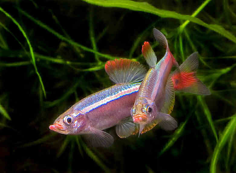 Tanichthys albonubes, рыбки кардиналы размножение