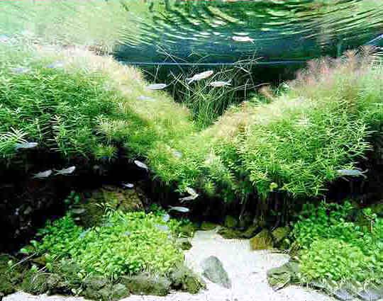 растительность для аквариума