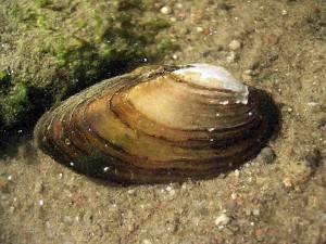 аквариумный пресноводный моллюск перловица