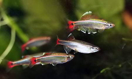 кардинал аквариумная рыбка фото