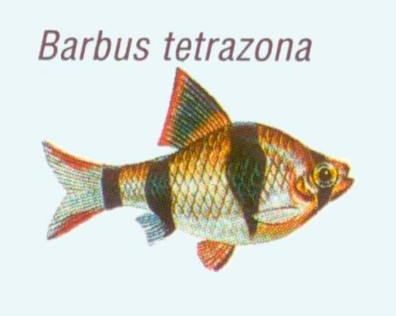 barbus tetrazona -барбус