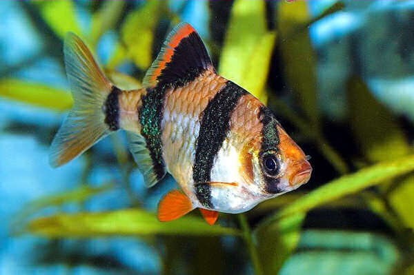 Barbus tetrazona барбус суматранский в аквариуме