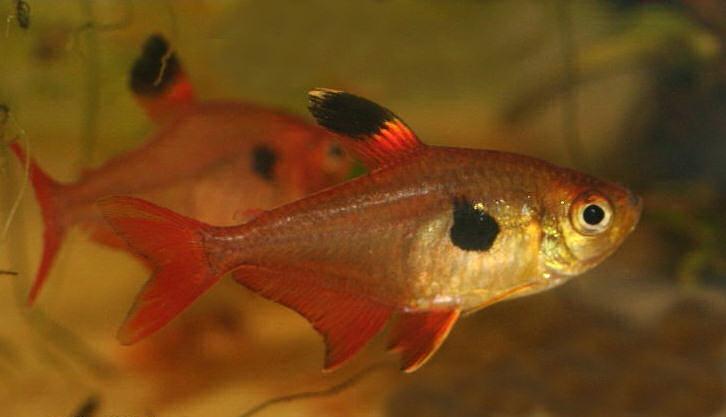 Hyphessobrycon eques аквариумная рыбка минор