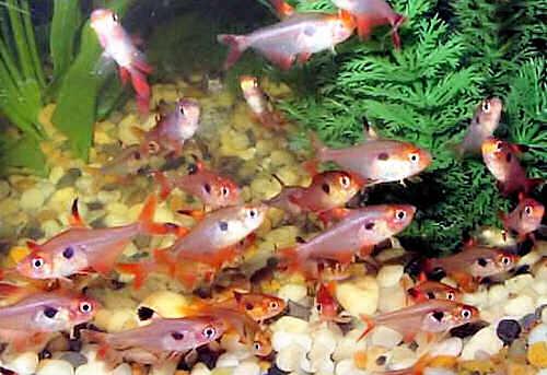 размножение аквариумных рыбок миноров