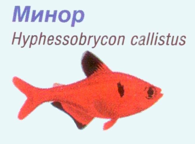 аквариумная рыбка минор