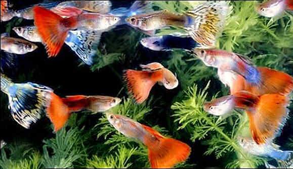 содержание гуппи в аквариуме