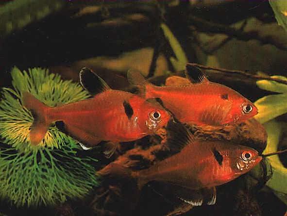 Содержание аквариумных рыбок минор