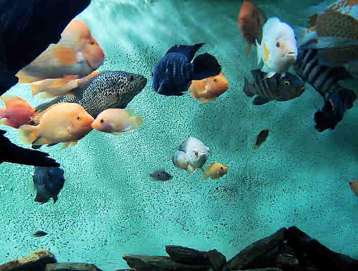 содержание аквариумных рыбок цихлазом