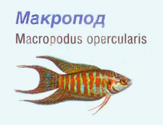 Macropodus-opercularis - аквариумная рыбка макропод