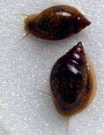 аквариумный моллюск физа
