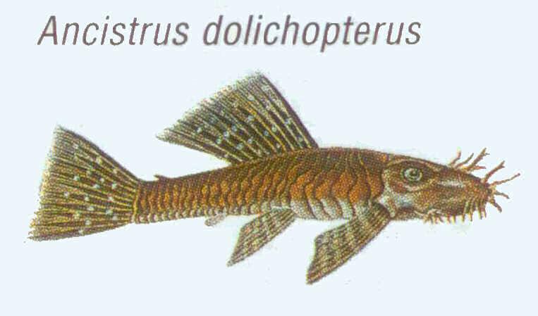 ancistrus-dolichopterus анциструс обыкновенный
