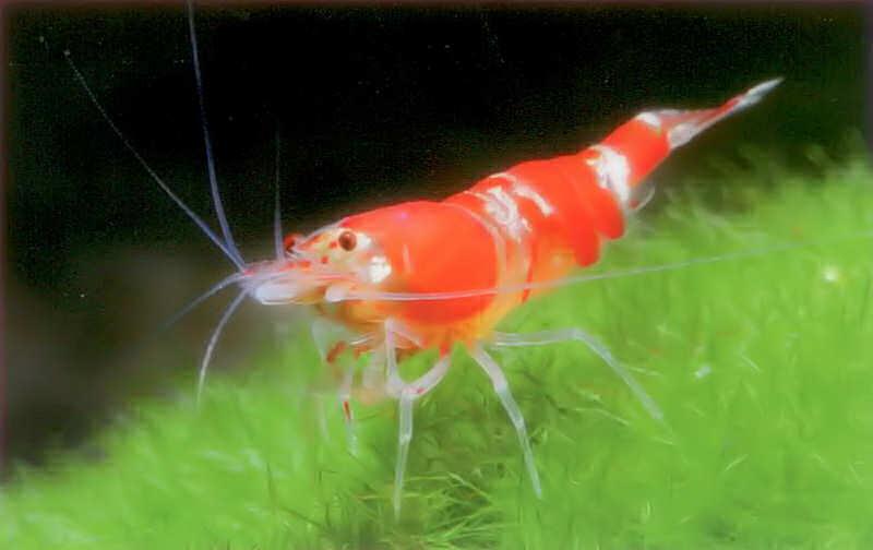 аквариумная креветка красная пчела