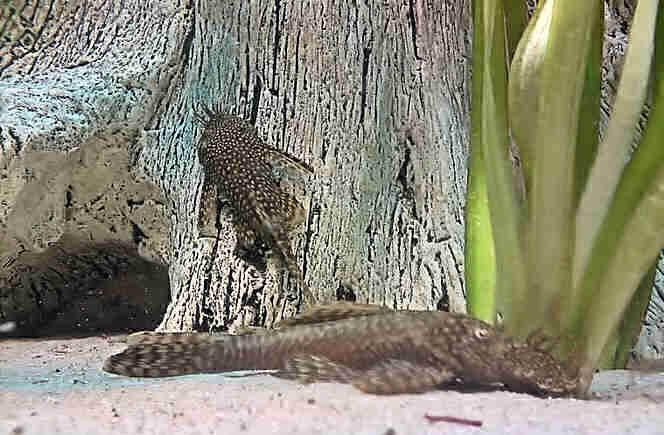 анциструсы содержание в домашнем аквариуме
