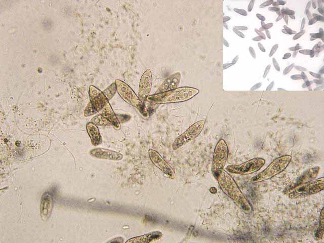 как разводить живую пыль (инфузории)