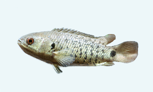 Anabas-testudineus рыба-ползун