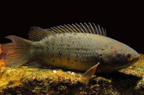 аквариумная рыбка анабас