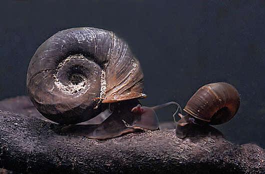 planorbarius corneus катушка