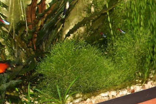 яванец в аквариуме
