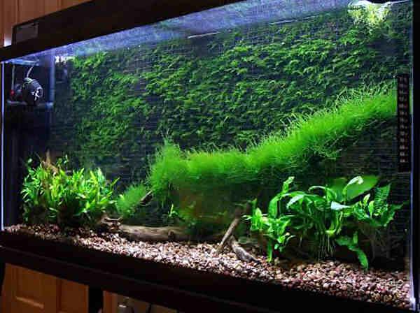 создание аквариумного ландшафта из яванского мха