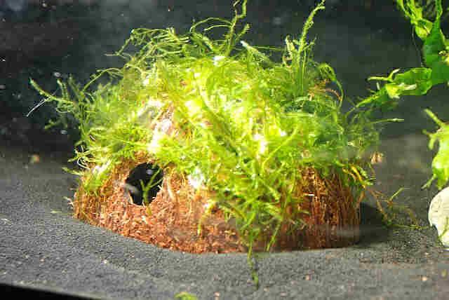 яванский мох на кокосе в аквариуме