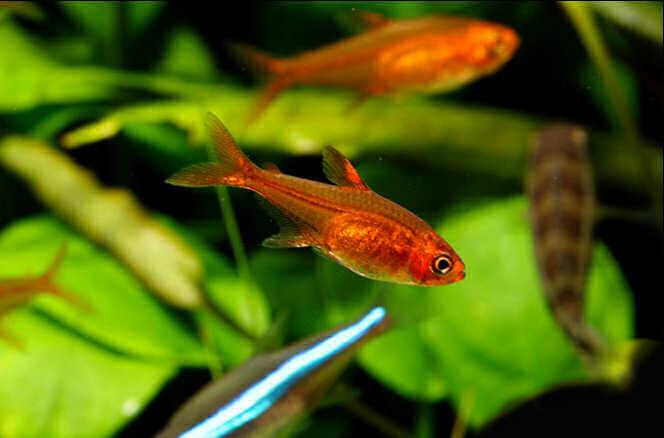 условия содержания аквариумной рыбки аманды