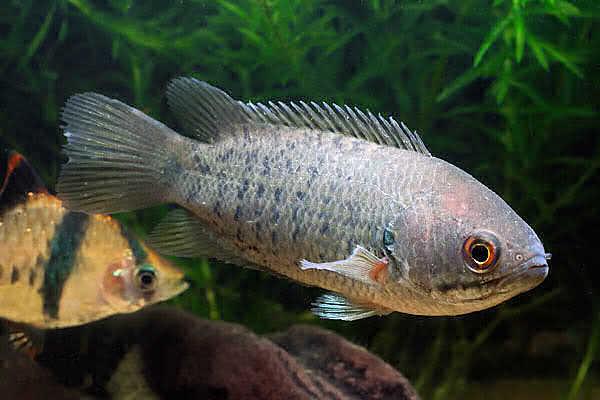 содержание анабасов в аквариуме