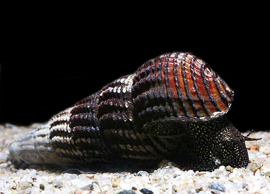 аквариумная улитка тиломелания