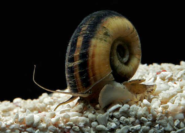 пресноводная аквариумная улитка мариза