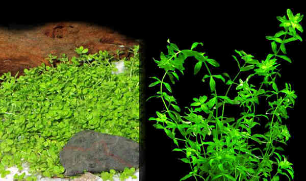 Micranthemum Micranthemoides микрантемум малоцветковый