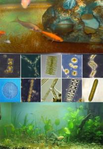Бурые водоросли - диатомовые водоросли