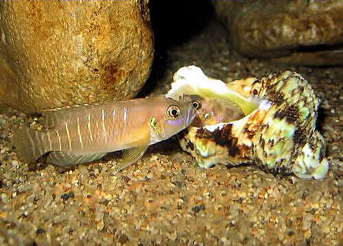 размножение ракушковых лампрологусов в домашнем аквариуме