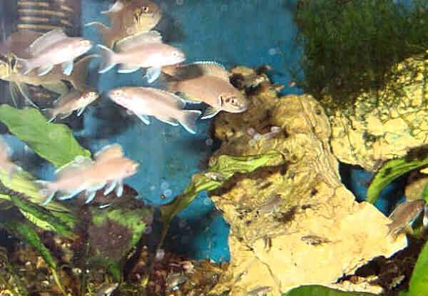 содержание ракушковых лампрологусов в домашнем аквариуме