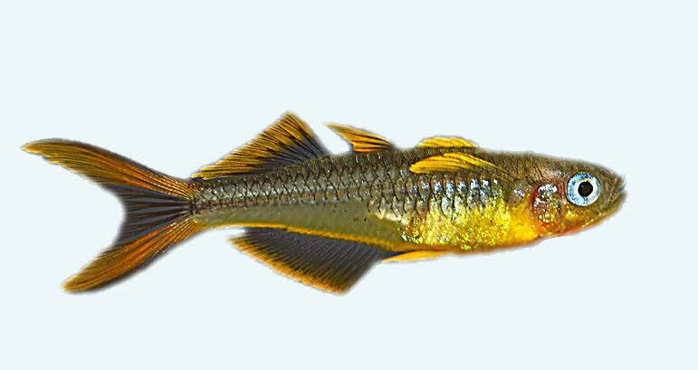 Pseudomugil furcatus, Popondetta furcata - попондетта фурката