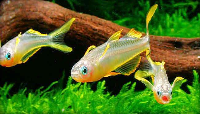 содержание попондетты фуркаты в домашнем аквариуме