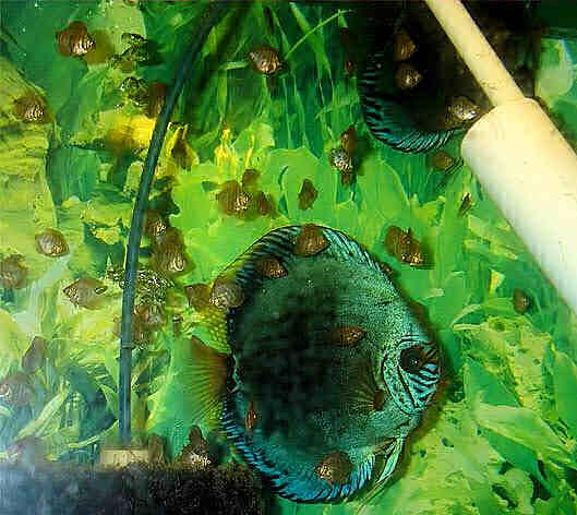 разведение дискусов в домашнем аквариуме