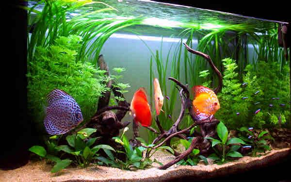 содержание дискусов в домашнем аквариуме