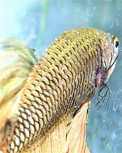 болезнь аквариумных рыбок лепидортоз