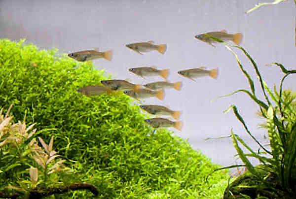 содержание альфаро бирюзового (ножевидного) в домашнем аквариуме