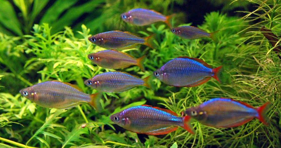 фото стайные аквариумные рыбки